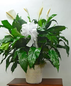 Peace lily plant with white blooms in a basket tied with a white bow.