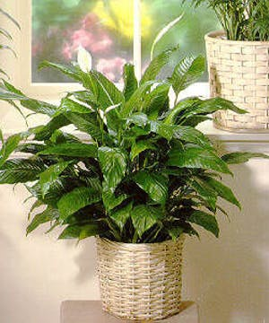 Green Floor Plant  easy to care fore