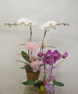 Phaelenopsis orchid plants of assorted colors.