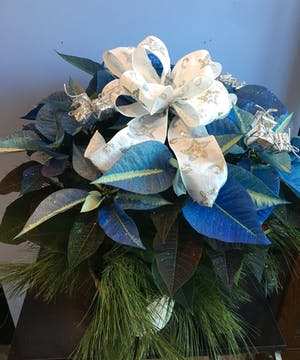 Blue poinsettia plant tied with a bright white ribbon