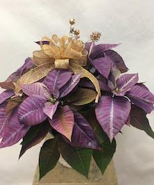 Purple Poinsettia